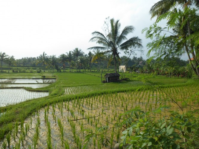 Os arrozais de Bali são um espetáculo à parte.