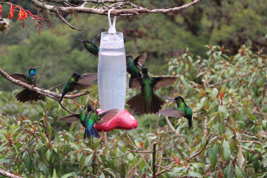 Os colibris da Costa Rica