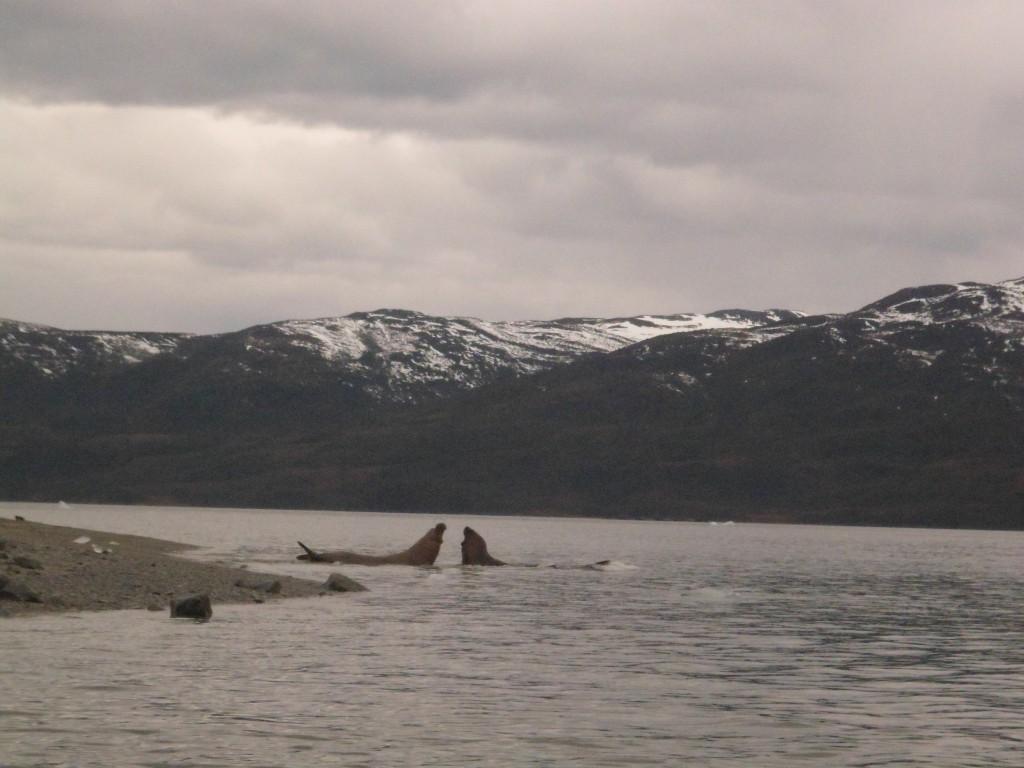 O encontro dos elefantes marinhos