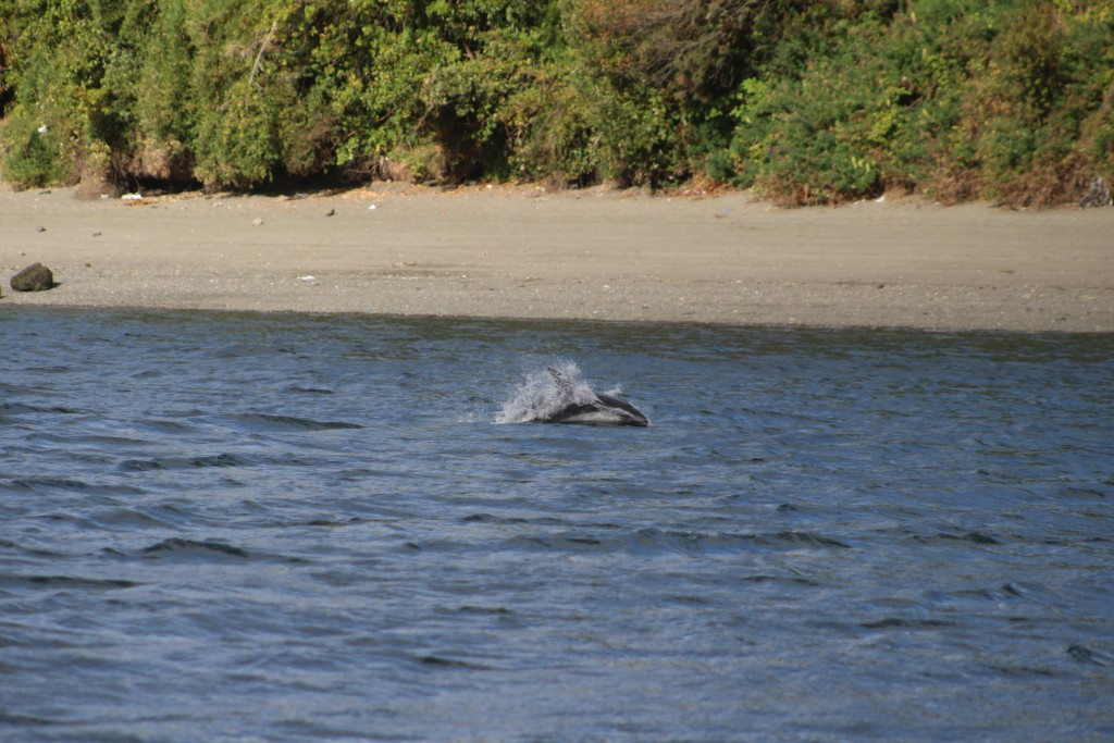 Golfinhos em Chiloé