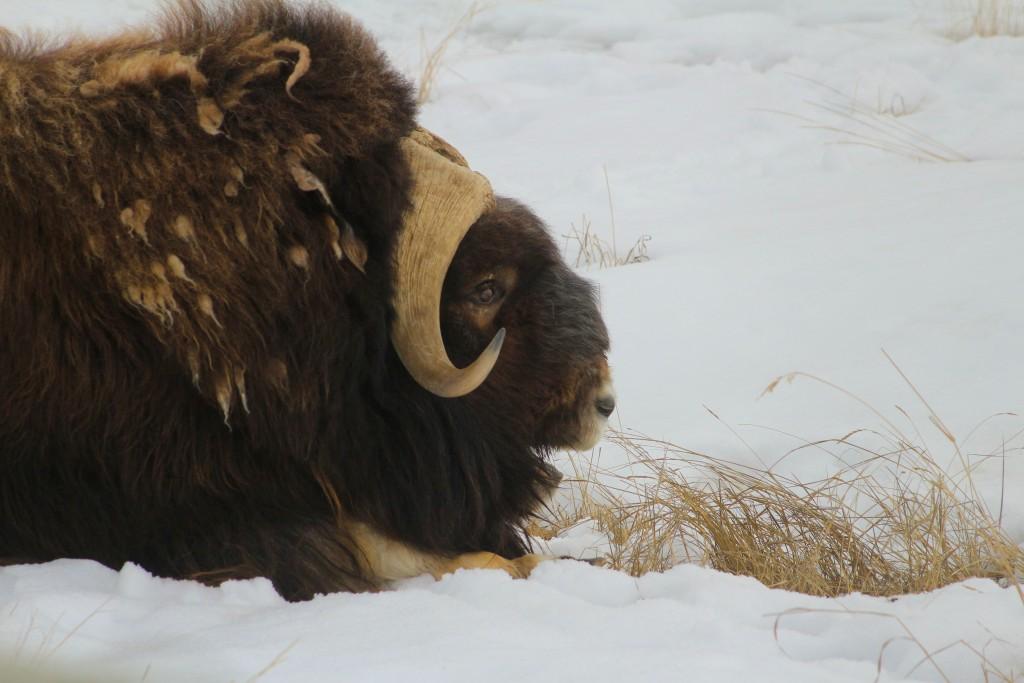 O Boi Almiscarado (ou Muskoxer) do Yukon Wildlife Preserve