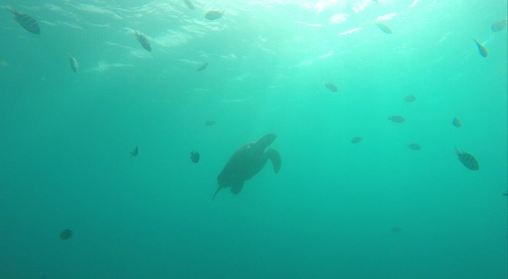 A grande tartaruga que apareceu na despedida do mergulho.