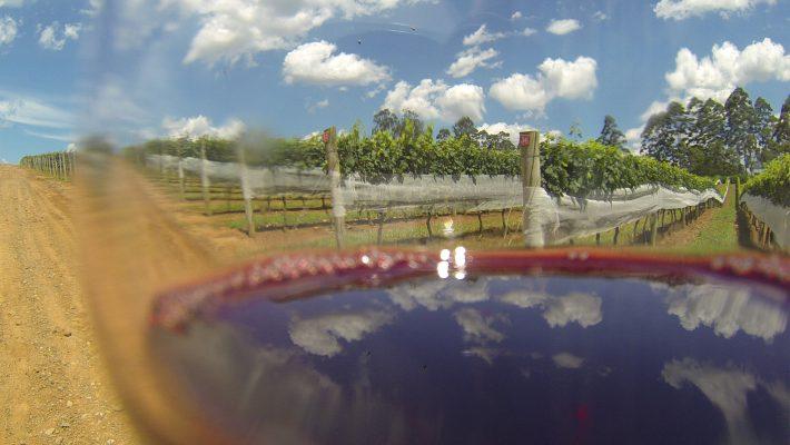 É hora da Vindima! Conheça o passeio da colheita das uvas em São Roque-SP!