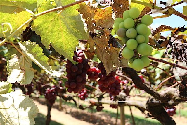 As uvas da Vindima